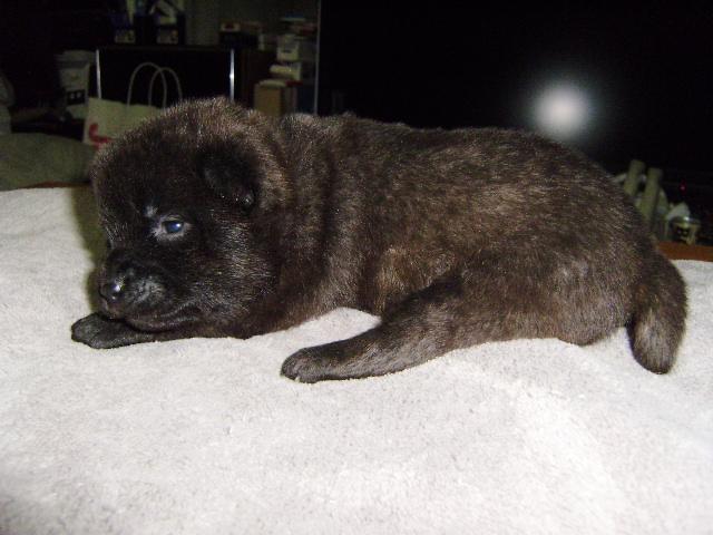 甲斐犬子犬販売、虎毛、女の子(メス)、2013年04月02日産まれ、大阪府ブリーダー、ID20130402-001