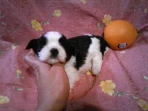 シーズー子犬販売、女の子(メス)、ブラック&ホワイト、2013年5月10日産まれ、ID20130510-002