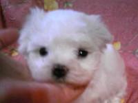 マルチーズ子犬販売、ホワイト、男の子(オス)、2013年4月27日産まれ、東京都ブリーダー、ID20130427-002