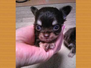 チワワロングコート子犬販売、女の子(メス)、チョコタン&クリーム、2013年11月02日産まれ、東京都ブリーダー、ID5045