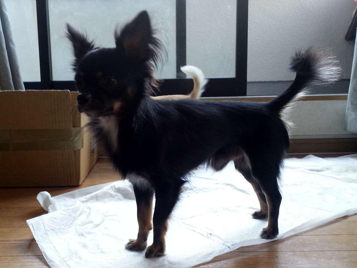 チワワロングコート子犬販売、男の子(オス)、女の子(メス)、2013年10月15日産まれ、父犬、東京都ブリーダー、ID4733、ID4734、ID4735、ID4736