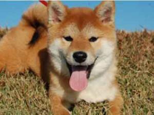 柴犬子犬販売、赤毛(赤柴)、男の子(オス)、2013年08月02日産まれ、千葉県ブリーダー、ID5126