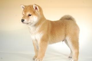 柴犬子犬販売、赤毛(赤柴)、男の子(オス)、2013年10月11日産まれ、千葉県ブリーダー、ID5123