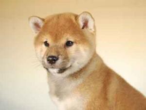 柴犬子犬販売、赤毛(赤柴)、男の子(オス)、2013年10月11日産まれ、千葉県ブリーダー、ID5124