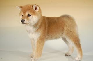 柴犬子犬販売、赤毛(赤柴)、女の子(メス)、2013年10月11日産まれ、千葉県ブリーダー、ID5125