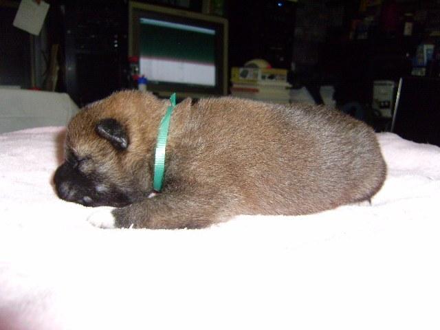 柴犬子犬販売、赤毛(赤柴)、男の子(オス)、2013年10月26日産まれ、大阪府ブリーダー、ID4804