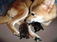 柴犬子犬販売、赤毛(赤柴)、男の子(オス)、2013年10月26日産まれ、母犬、大阪府ブリーダー、ID4804、ID4805