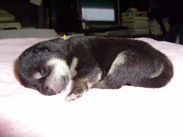 柴犬子犬販売、黒毛(黒柴)、男の子(オス)、2013年10月27日産まれ、大阪府ブリーダー、ID4809