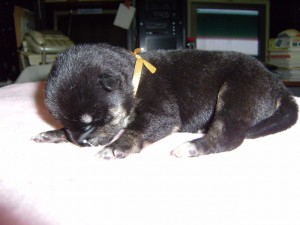 柴犬子犬販売、黒毛(黒柴)、女の子(メス)、2013年10月27日産まれ、大阪府ブリーダー、ID4810