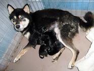柴犬子犬販売、黒毛(黒柴)、男の子(オス)、女の子(メス)、2013年10月26日産まれ、母犬、大阪府ブリーダー、ID4806、ID4807、ID4808、ID4809、ID4810