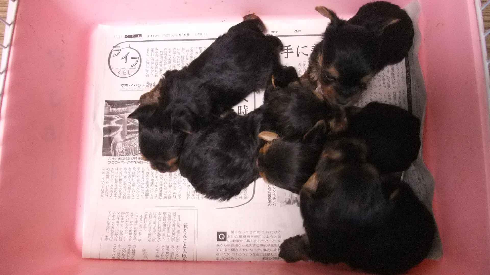 ヨークシャー・テリア(ヨーキー)、スチールブルータン、オス、東京ブリーダー子犬販売、5038、5039