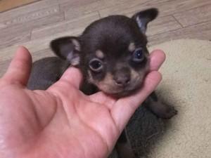 チワワスムースコート子犬販売、男の子(オス)、チョコタン&クリーム、2013年11月02日産まれ、東京都ブリーダー、ID5042