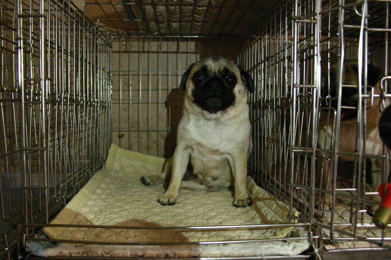 パグ子犬販売、母犬、フォーン、女の子(メス)、千葉県ブリーダー、ID4447、ID4449、ID4970