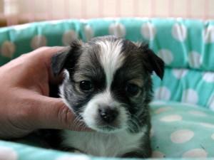 チワワロング子犬販売、男の子(オス)、レッド&ホワイト、2013年10月15日産まれ、東京都ブリーダー、ID4734