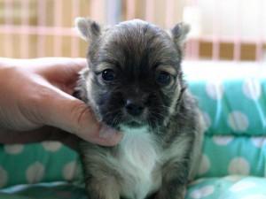 チワワロング子犬販売、男の子(オス)、レッド&ホワイト、2013年10月15日産まれ、東京都ブリーダー、ID4733