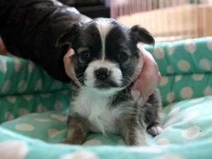 チワワロング子犬販売、男の子(オス)、レッド&ホワイト、2013年10月15日産まれ、東京都ブリーダー、ID4735