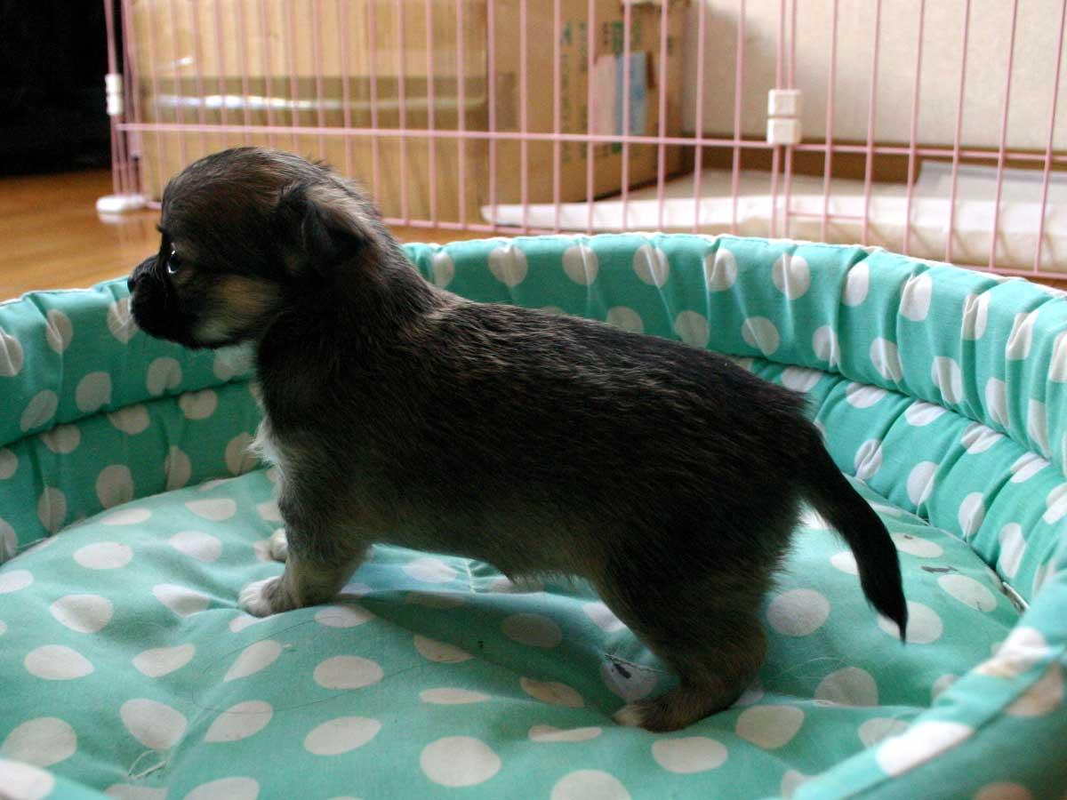 チワワロングコート子犬販売、女の子(メス)、レッド&ホワイト、2013年10月15日産まれ、東京都ブリーダー、ID4736