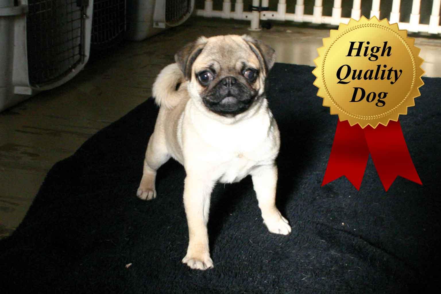 パグ子犬販売、女の子(メス)、フォーン、2013年06月28日産まれ、千葉県ブリーダー、High Quality Dog、ID4970