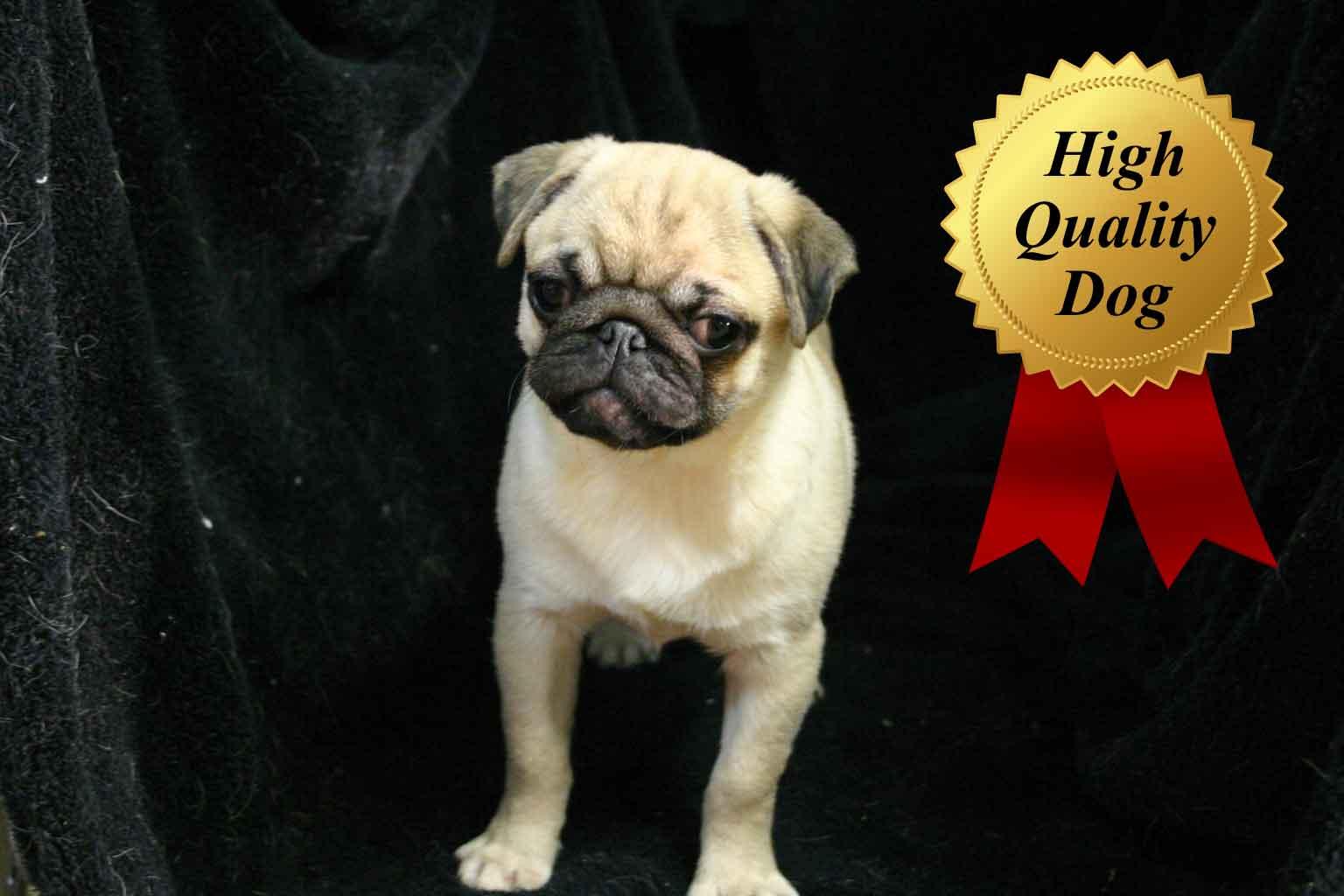 パグ子犬販売、男の子(オス)、フォーン、2013年08月13日産まれ、千葉県ブリーダー、High Quality Dog、ID4971