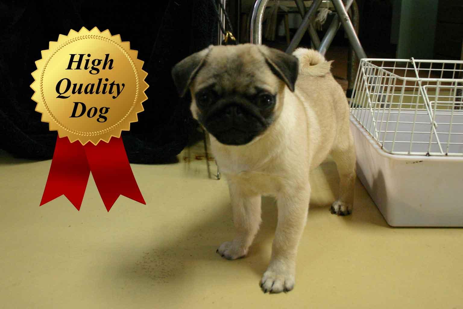 パグ子犬販売、女の子(メス)、フォーン、2013年08月13日産まれ、千葉県ブリーダー、High Quality Dog、ID4972