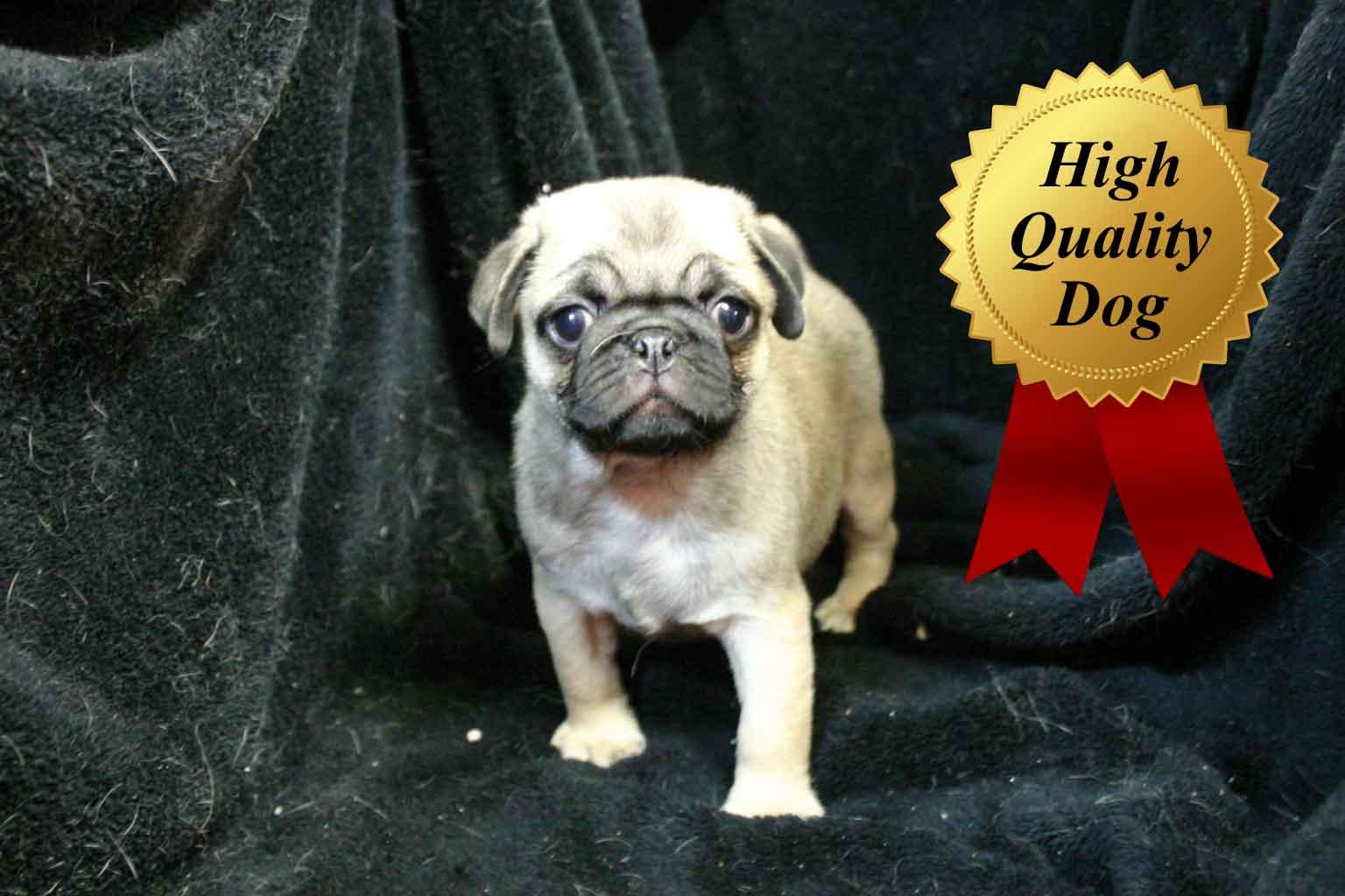 パグ子犬販売、フォーン、男の子(牡、Male)、2013年09月28日産まれ、千葉県ブリーダー、ID4973