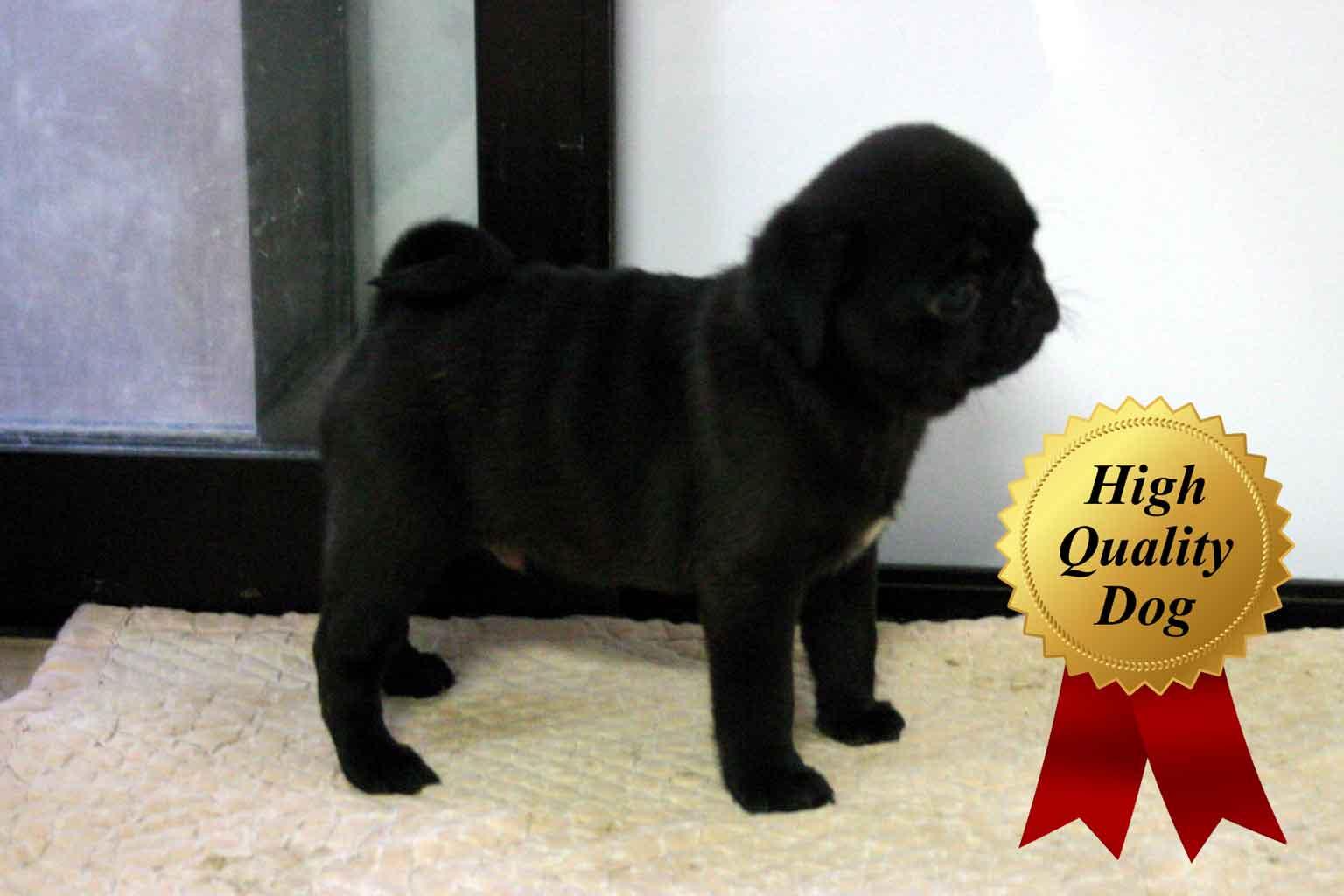 パグ子犬販売、ブラック、男の子(牡、Male)、2013年09月28日産まれ、千葉県ブリーダー、ID4974