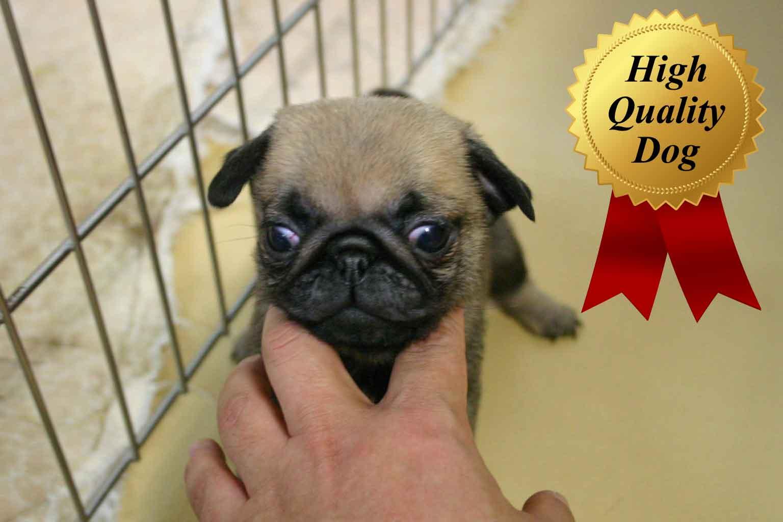 パグ子犬販売、フォーン、女の子(牝、Female)、2013年10月12日産まれ、千葉県ブリーダー、ID4975