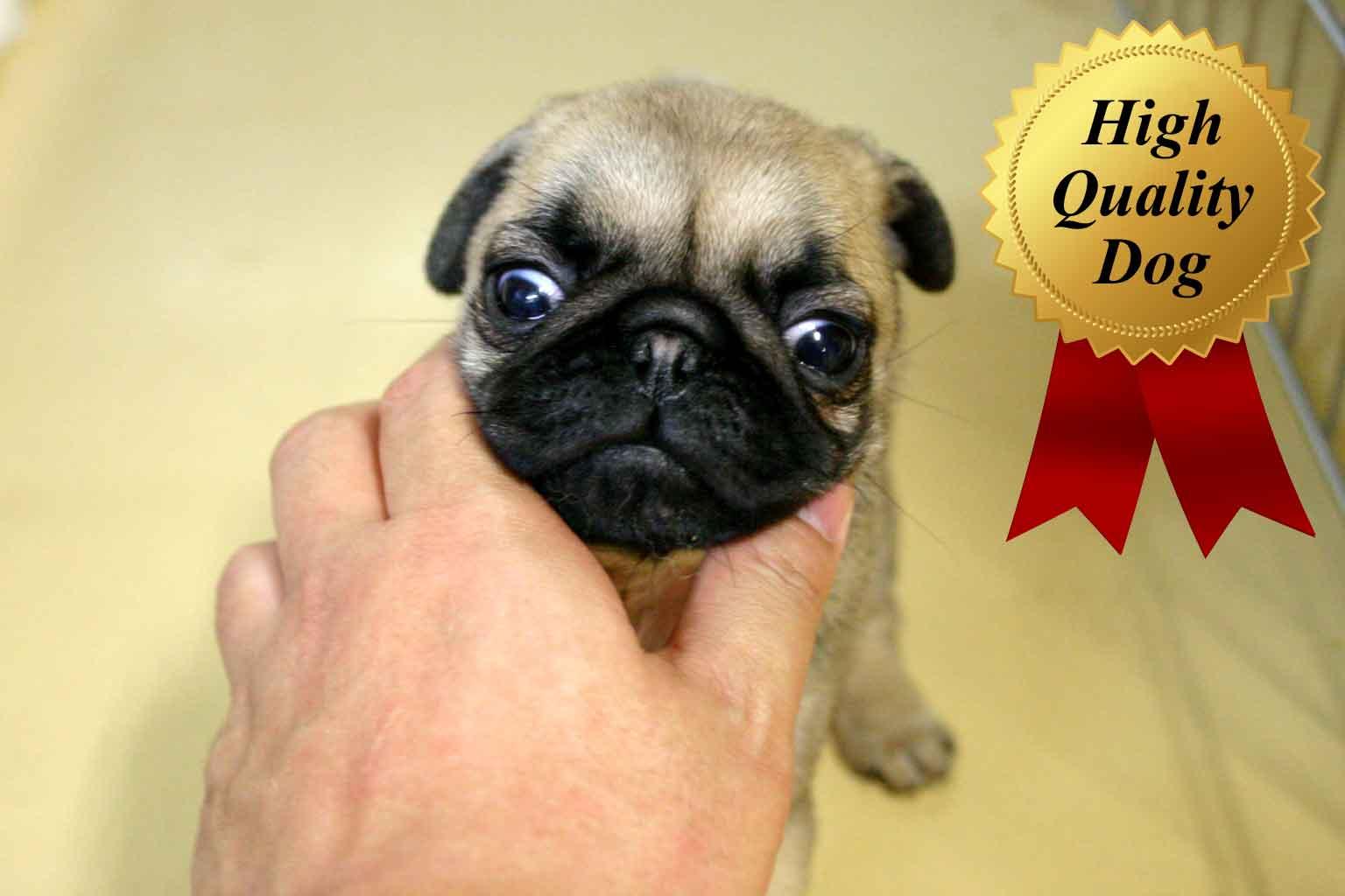 パグ子犬販売、フォーン、女の子(牝、Female)、2013年10月12日産まれ、千葉県ブリーダー、ID4976