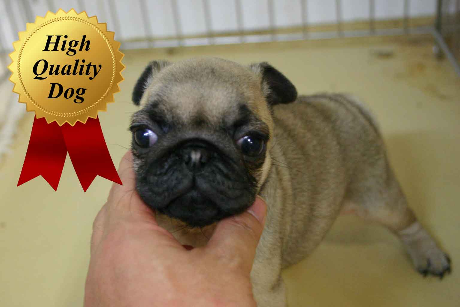 パグ子犬販売、フォーン、女の子(牝、Female)、2013年10月12日産まれ、千葉県ブリーダー、ID4978