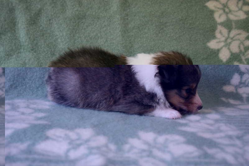 シェットランドシープドッグ(シェルティー)子犬販売、セーブル、男の子(オス)、2013年07月19日産まれ、神奈川県ブリーダー、ID4095