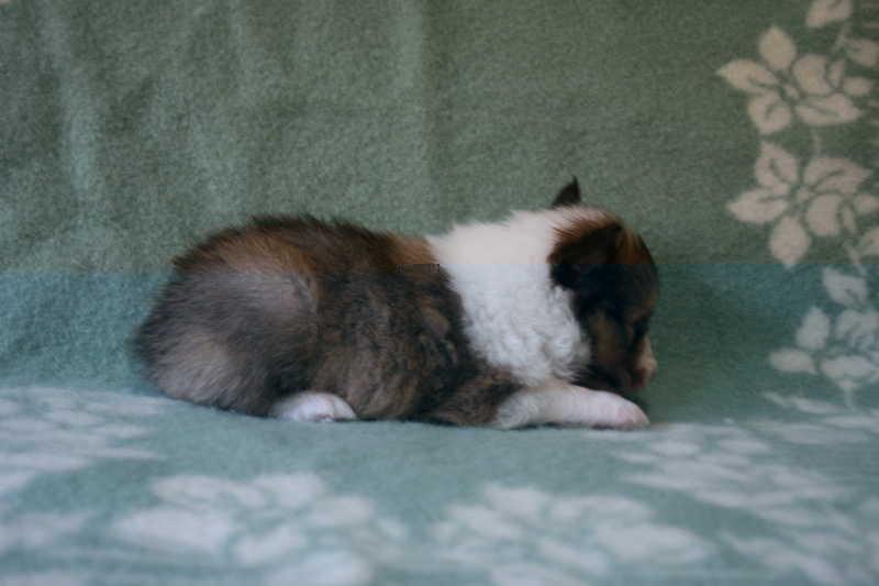 シェットランドシープドッグ(シェルティー)子犬販売、セーブル、男の子(オス)、2013年07月19日産まれ、神奈川県ブリーダー、ID4096