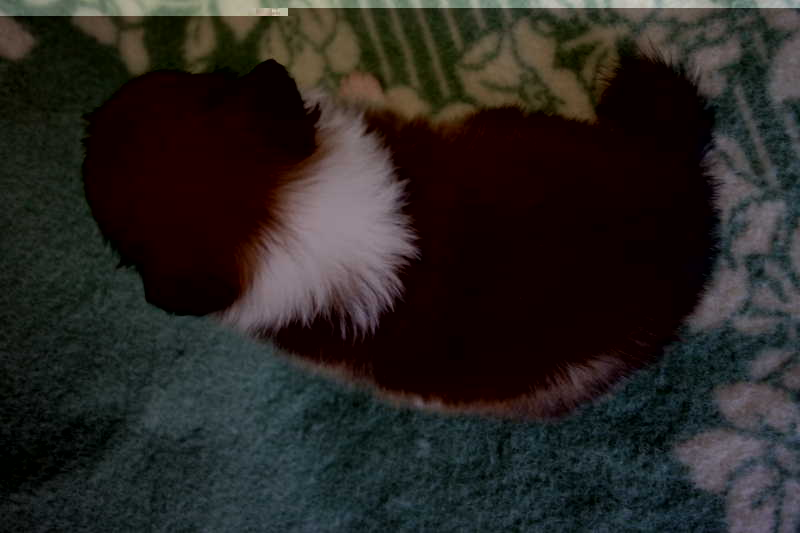 シェットランドシープドッグ(シェルティー)子犬販売、セーブル、女の子(メス)、2013年07月19日産まれ、神奈川県ブリーダー、ID4097