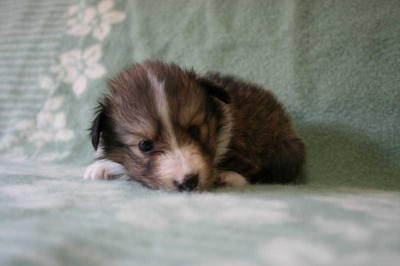 シェットランドシープドッグ(シェルティー)子犬販売、セーブル、女の子(メス)、2013年07月19日産まれ、神奈川県ブリーダー、ID4098
