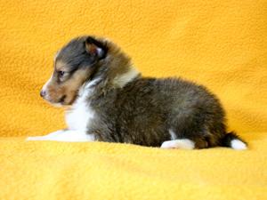 シェットランドシープドッグ(シェルティー)子犬販売、セーブル、男の子(オス)、2013年12月01日産まれ、神奈川県ブリーダー、ID5262