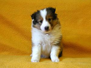 シェットランドシープドッグ(シェルティー)子犬販売、セーブル、女の子(メス)、2013年11月20日産まれ、神奈川県ブリーダー、ID5265