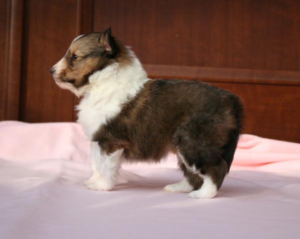 シェットランドシープドッグ(シェルティー)子犬販売情報、セーブル、女の子(メス)、2014年02月12日産まれ、神奈川県ブリーダー、ID5975
