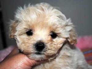 ミックス犬(マルプー)子犬販売、男の子(オス)、アプリコットに近いクリーム、2014年01月15日産まれ、大阪府ブリーダー、ID5978