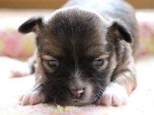 チワワロングコート子犬販売、レッド&ホワイト、女の子(メス)、2014年05月08日産まれ、東京都(23区)ブリーダー、ID6452