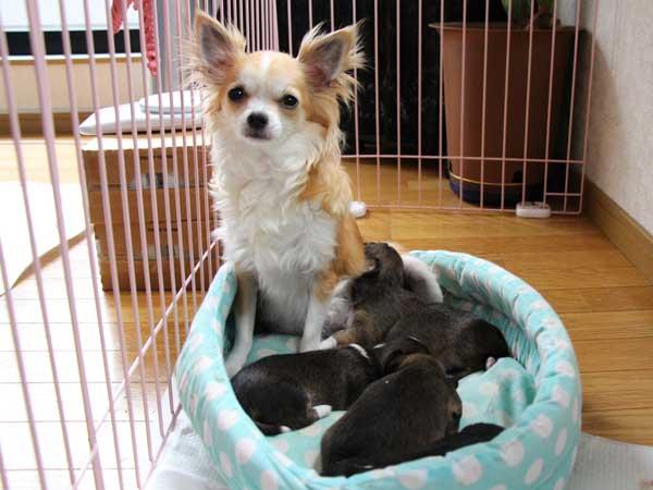 チワワ・ロングコート子犬販売、男の子(オス)、2014年05月08日産まれ、母犬、東京都(23区)ブリーダー、ID6450、ID6451、ID6452、ID6453