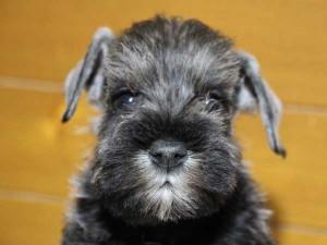 ミニチュアシュナウザー子犬販売、男の子(オス)、ソルト&ペッパー、2014年03月29日産まれ、神奈川県ブリーダー、ID6376