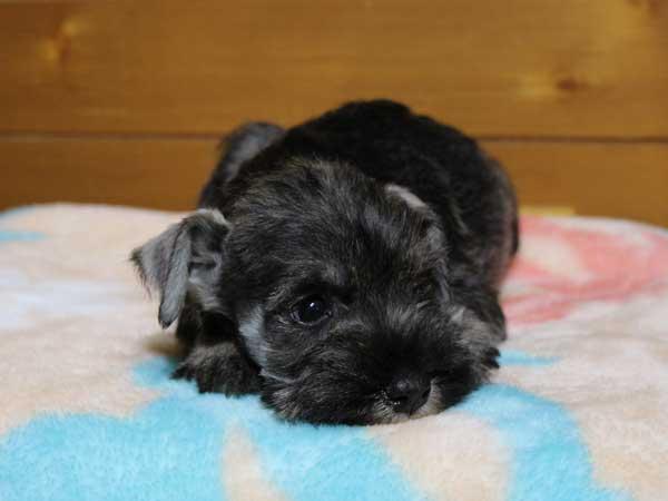 ミニチュアシュナウザー子犬販売、女の子(メス)、ソルト&ペッパー、2014年03月29日産まれ、神奈川県ブリーダー、ID6377