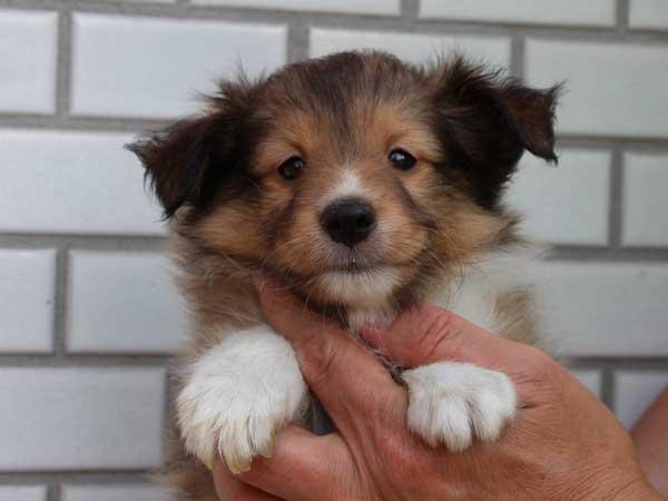 シェットランドシープドッグ(シェルティー、シェルティ)子犬販売情報、セーブル、男の子(オス)、3/4カラー、ブレーズなし、2014年4月1日産まれ、東京都ブリーダー、ID6406