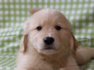 ゴールデンレトリーバー(レトリバー)千葉県ブリーダー子犬販売情報、20140331産まれ、ゴールド、男の子(オス)、ID6416