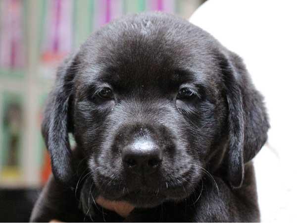 ラブラドールレトリーバー子犬販売、ブラック(黒ラブ)、男の子(牡、雄、オス、Male)、2014年04月23日産まれ、神奈川県ブリーダー、ID6629