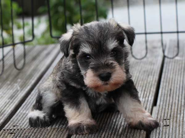 ミニチュアシュナウザー子犬販売、ソルト&ペッパー、男の子(オス)、2014年05月27日産まれ、静岡県ブリーダー、ID6772