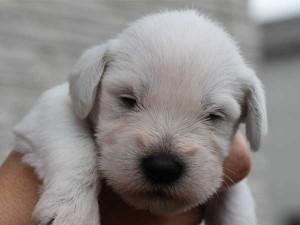 ミニチュアシュナウザー子犬販売、、男の子(オス)、ホワイト、2014年06月09日産まれ、静岡県ブリーダー、ID6773