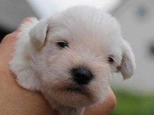 ミニチュアシュナウザー子犬販売、男の子(オス)、ホワイト、2014年06月09日産まれ、静岡県ブリーダー、ID6775