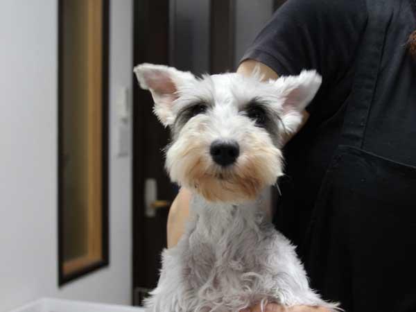 ミニチュアシュナウザー子犬販売、2014年06月09日産まれ、母犬、静岡県ブリーダー、ID6773、ID6774、ID6775