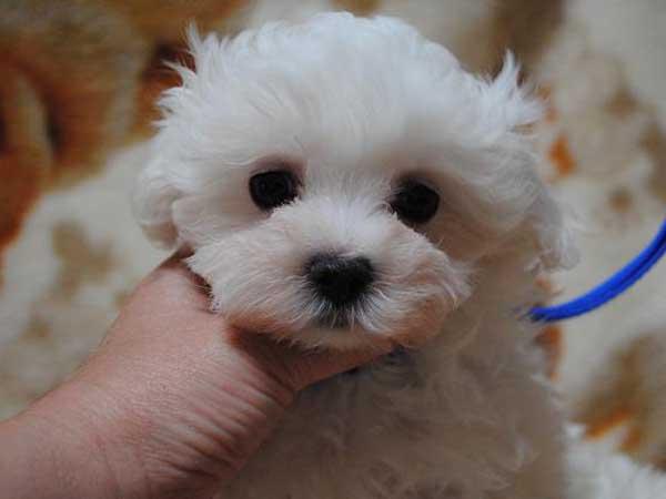 マルチーズ東京都ブリーダー子犬販売、女の子(メス)、ホワイト、ID6805