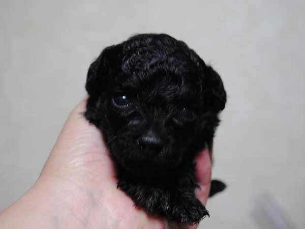 トイ・プードル、東京都ブリーダー子犬販売情報、ブラック、女の子(メス)、2014年4月28日生れ、ID6807